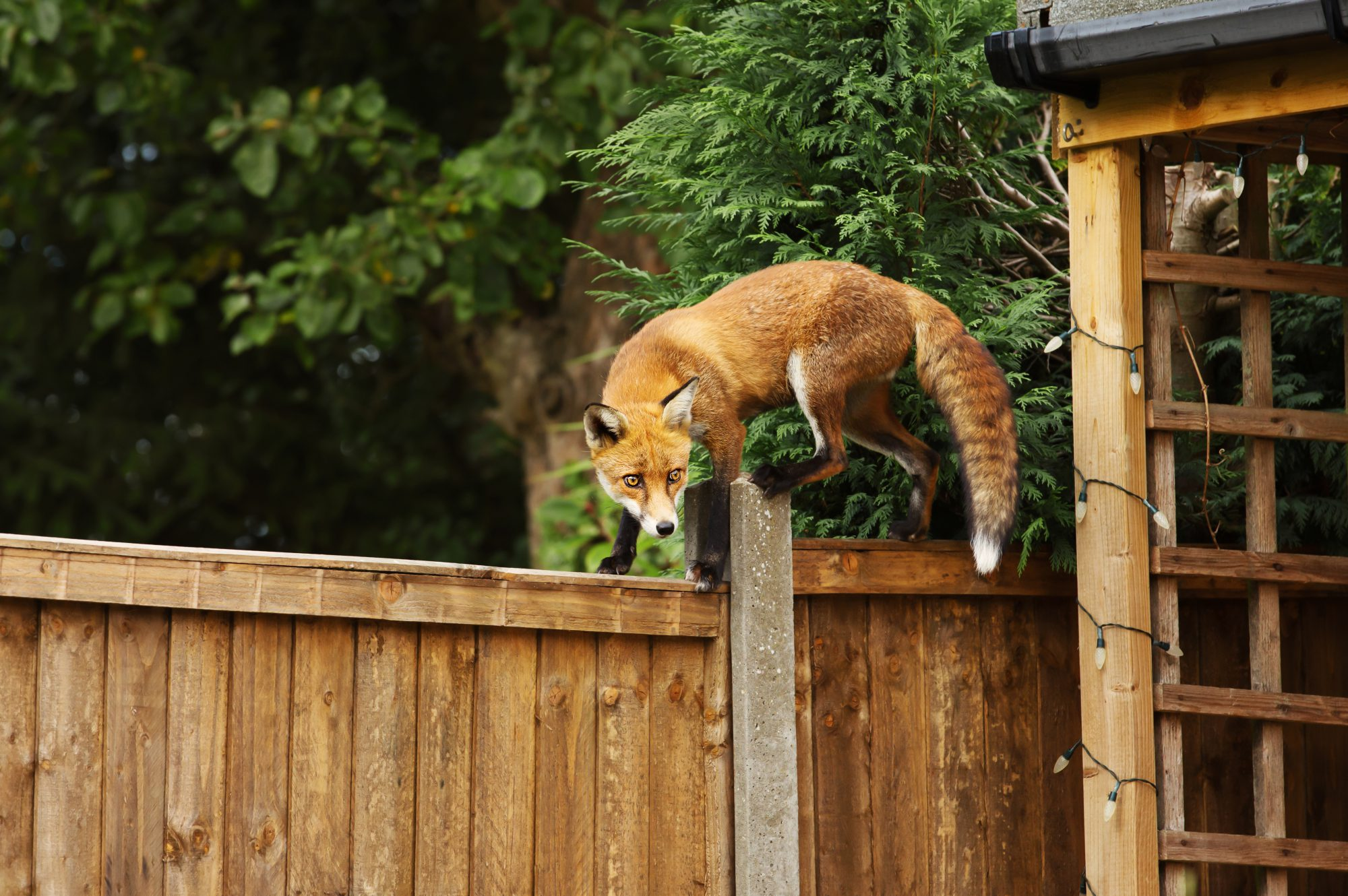 How to know if a fox has been in your garden?